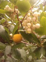 Strawberry Tree flowers and fruit